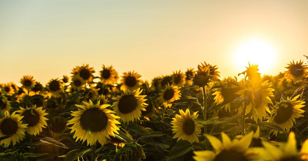 grateful-sun-flowers